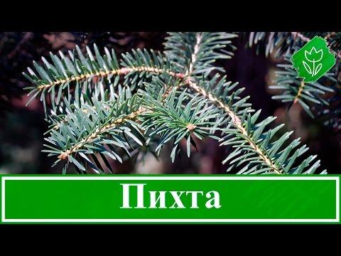 Вопрос: Как различить деревья по форме кроны и цвету коры?