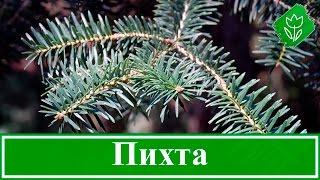 Дерево пихта – посадка и уход: пихта зимой и осенью; виды и сорта пихты