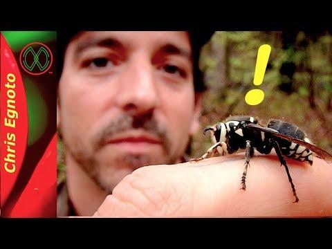 Holding a Ferocious Bald Faced Hornet - Nature Now!
