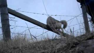 Coyote Caught on a Fence