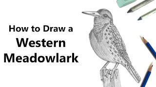 How to Draw a Western Meadowlark with Pencils [Time Lapse]