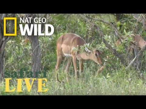 Safari Live - Day 108 | Nat Geo Wild