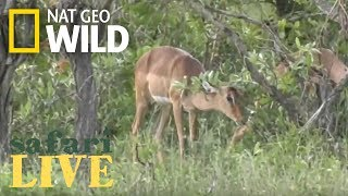 Safari Live - Day 108 Nat Geo Wild