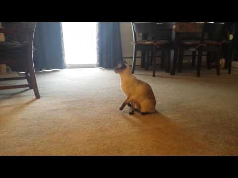 Super smart siamese cat knows how to sling shoot a