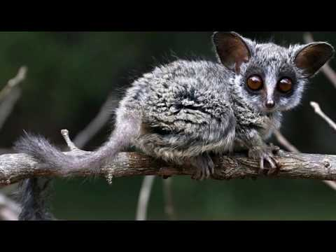 Interesting Galago Facts
