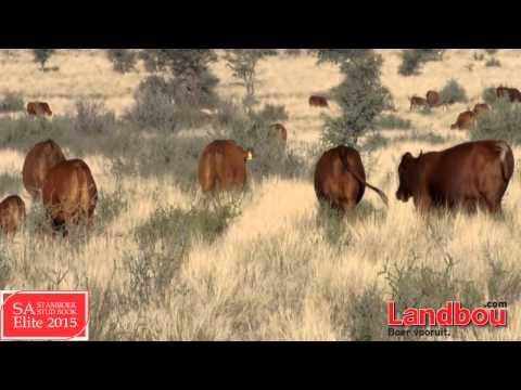 Bonsmara Namibië se Elite-koei