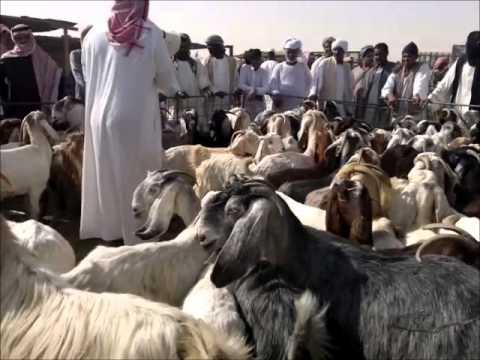 وعل مهجن مع عنز Hybridization With The Nubian Ibex Goat Youtube