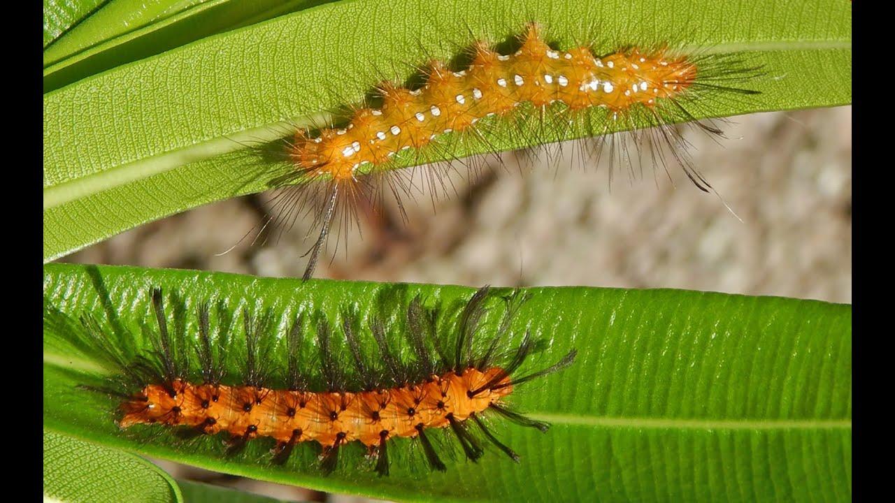 Oleander Caterpillar Damage In Home Landscapes