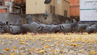 A flock of pigeons eating grains ion Jaipur Streets