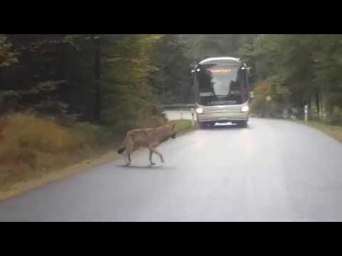 Video von den entlaufenen Wölfen im Nationalpark (Teil I) | pnp.de