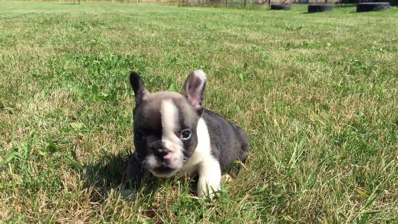Alphonso - 6 week old French Bulldog Puppy for sale - YouTube