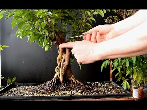 Ficus Benjamina Bonsai Jan 2017 Youtube