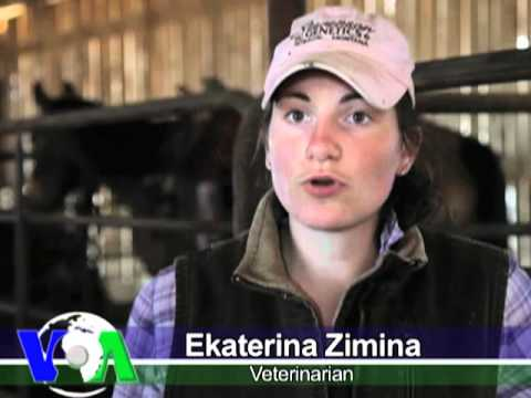 American Cowboys Bring Beef Cows to Russia