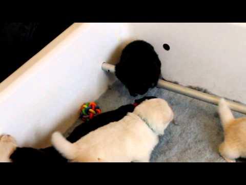 Taigakoria - Finnish Lapphund Puppies