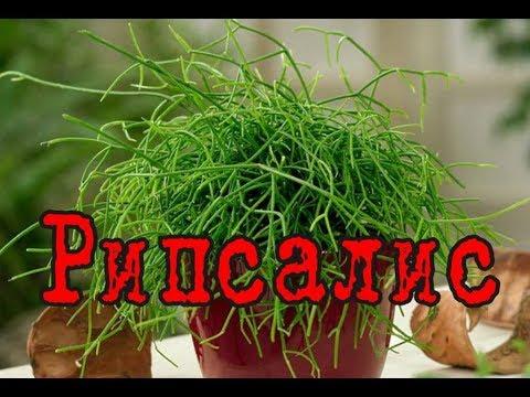 РИПСАЛИС – лесной АМПЕЛЬНЫЙ кактус. Уход и разведение в домашних условиях