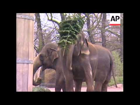 Berlin zoo's elephants feast on used Christmas trees