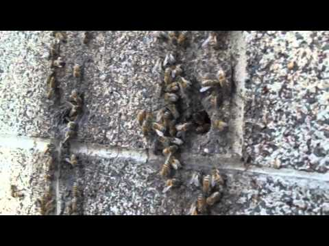 Petting feral bees (domestic and wild behavior danger) - April 2016
