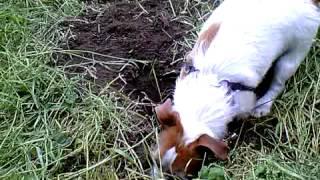 mon chien en trein de creuse pour chercher les taupes