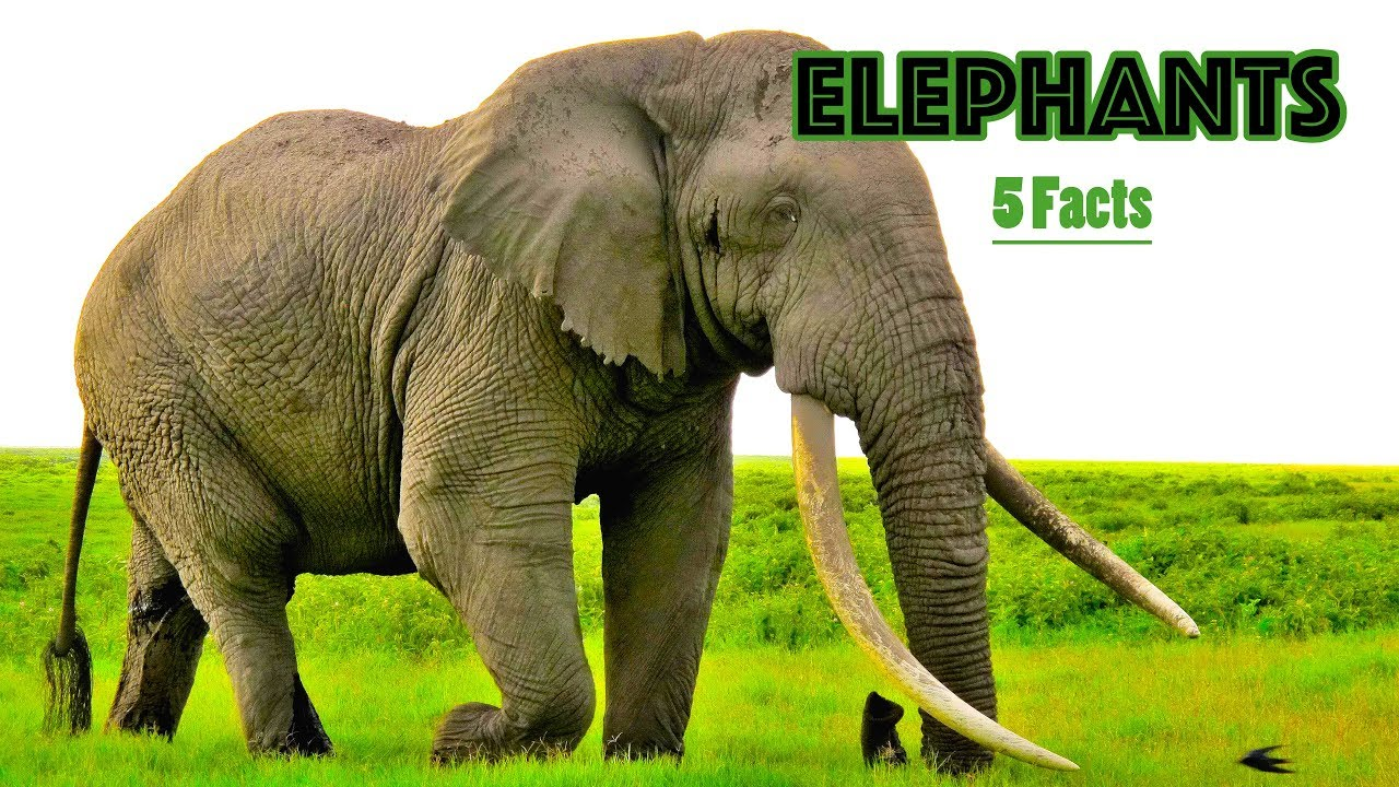 Youtube Facts About Elephants For Kids