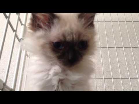 Twitterもやってます。こちらもよろしくお願いします!http://twitter.com/muuta618 我が家にやってきたヒマラヤンの子猫、ムー汰です♡ 現在 生後2ヶ月...