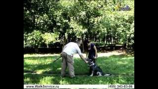 Дрессировка собак ОКД апортировка первая часть