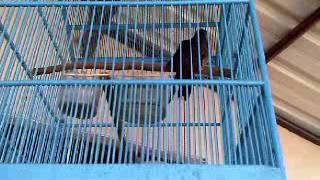 burung kedasih gacor / burung misteri