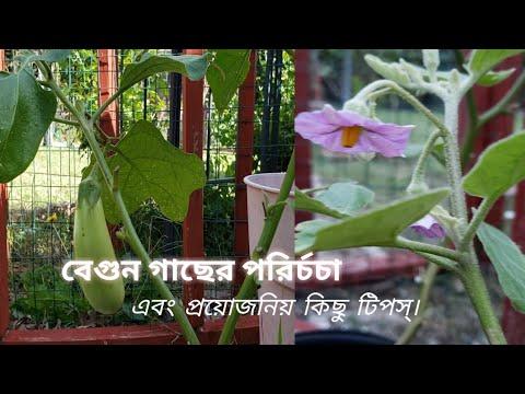 বেগুন গাছের পরির্চচা এবং প্রয়োজনিয় কিছু টিপস্। How to take care of Eggplant plants.