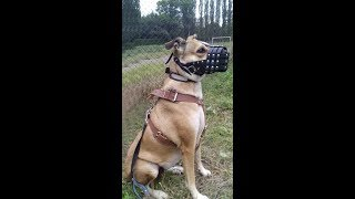 Тренировка собаки на охрану Киев Дрессура собак