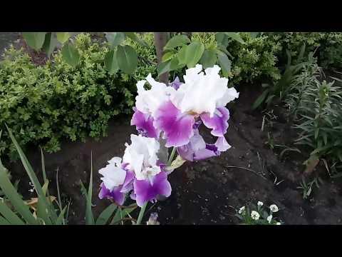 Вопрос: Как продлить цветение ирисов?