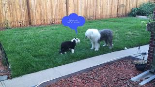 Rosie Meets Otto  Old English Sheepdogs (OES)