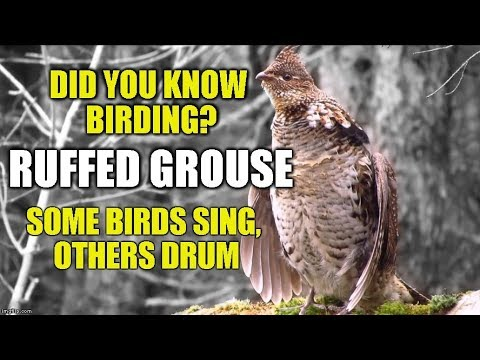 Ruffed Grouse - Some Birds Sing, Other's Drum -Did You Know Birding?( Episode 12)