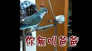 出生才半年就那麼會學說話-藍和尚鸚鵡