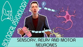 The Reflex Arc: Sensory, Relay and Motor Neurons - Biological Psychology [AQA ALevel]
