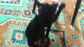 Кошка просит кота и поэтому катается на жопе!!!