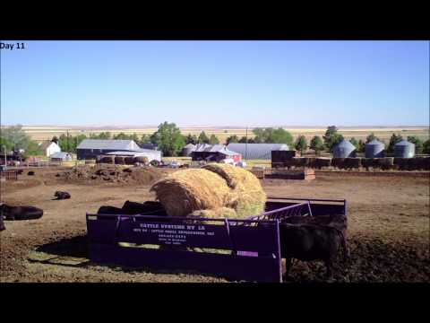 cattle systems feeder 17 day time laspe HD