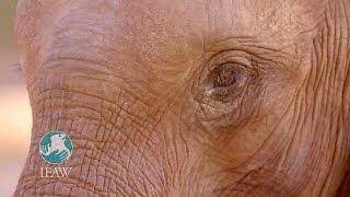 IFAW.org - Spenden kommen an / Zwei Elefantenwaisen sind ihrer Auswilderung einen Schritt näher geko
