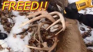 Giant Locked Up Bucks Being Freed! Tangled Up Bucks ! Bucks Locked Up Compilation!
