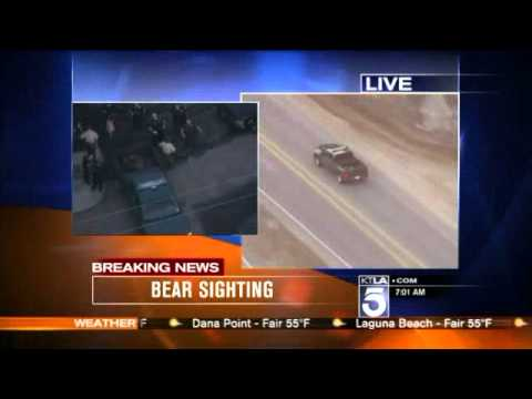 HUge Bear Spotted Wandering Through Baldwin Park (Oct. 11)2013 California USA