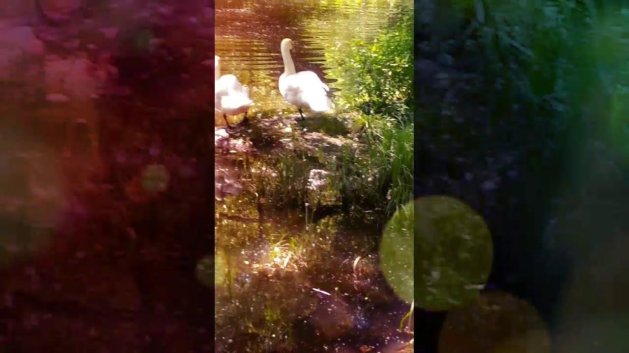 Белые Лебеди на реке в городе красота - YouTube