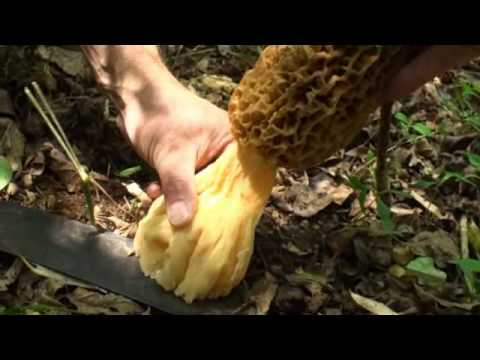 Monster Giant Sized Morel Mushrooms by Chris Matherly