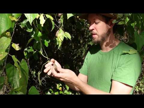 The Edible Air Potato - Crash Gardening Season 2, Ep. 6
