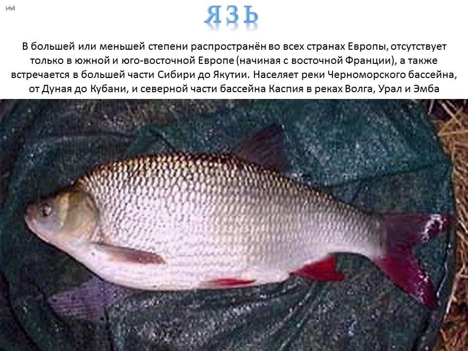 распространенному мнению, язь рыба фото и описание расположен спокойном, тихом
