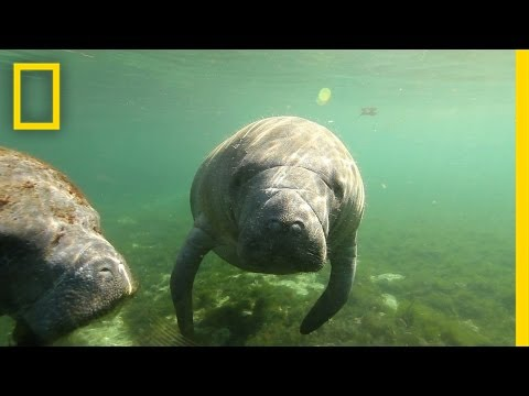 an introduction to the nature of the manatee Buy the florida manatee:  reep and bonde, each with more than 20 years of experience researching the manatee, have produced an introduction to these secretive animals for the general reader covering all aspects of manatee biology, they delve into both the scientific literature and the anecdotes of fellow manatee researchers to create an.