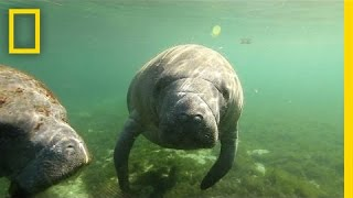 Natural Springs Offer a Unique Encounter With Manatees | Short Film Showcase