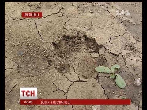 Село Вовчоярівка на Луганщині тероризують вовки