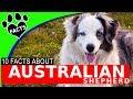 Australian Shepherd Dogs 101 (Aussie) Facts