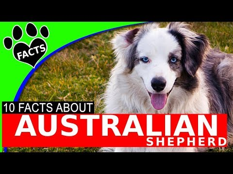 Dogs 101: Australian Shepherd (Aussie) Interesting Facts Information - Animal Facts