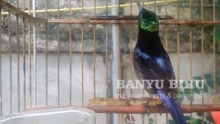 Gambar cover 3 Menit Pancing Kolibri Ninja Jadi NGOBRA, GACOR emosi tanpa Jedah