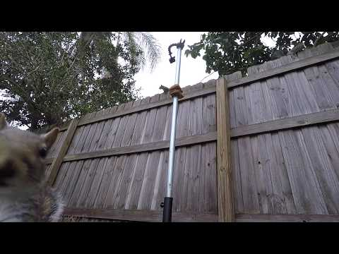 Eastern Gray Squirrel | Clever and funny Squirrels climb pole for bread