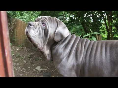 Neo Dad with Neapolitan Mastiff Puppies 9 Weeks Old + Boo